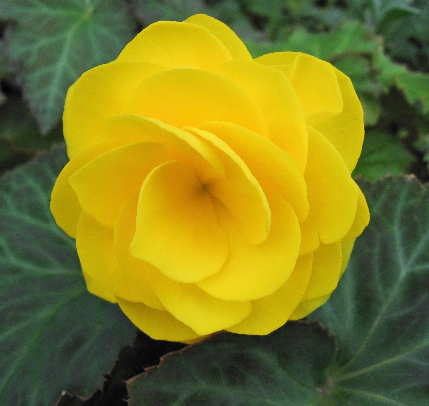 File Yellow begonia Wikimedia mons