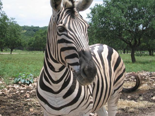 Zebra Faces http://commons.wikimedia.org/wiki/File:Zebra_face.jpg