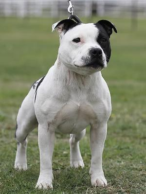 Amstaff Dogs For Sale In Mauritius