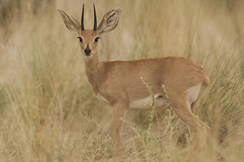 קובץ:2012-steenbok-male.jpg