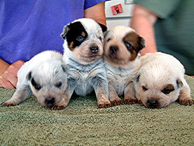 File:ACD puppies 3 weeks.jpg