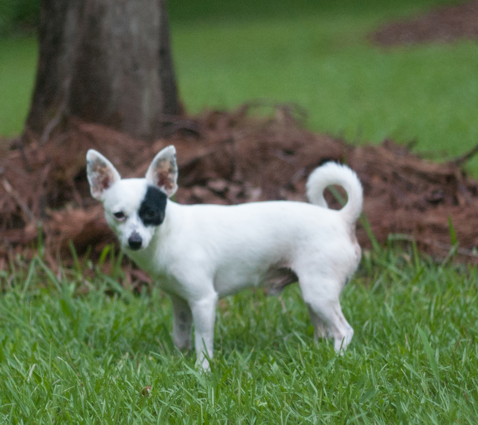 Alert chihuahua 2 Chihuahua Puppies For Sale In Mi