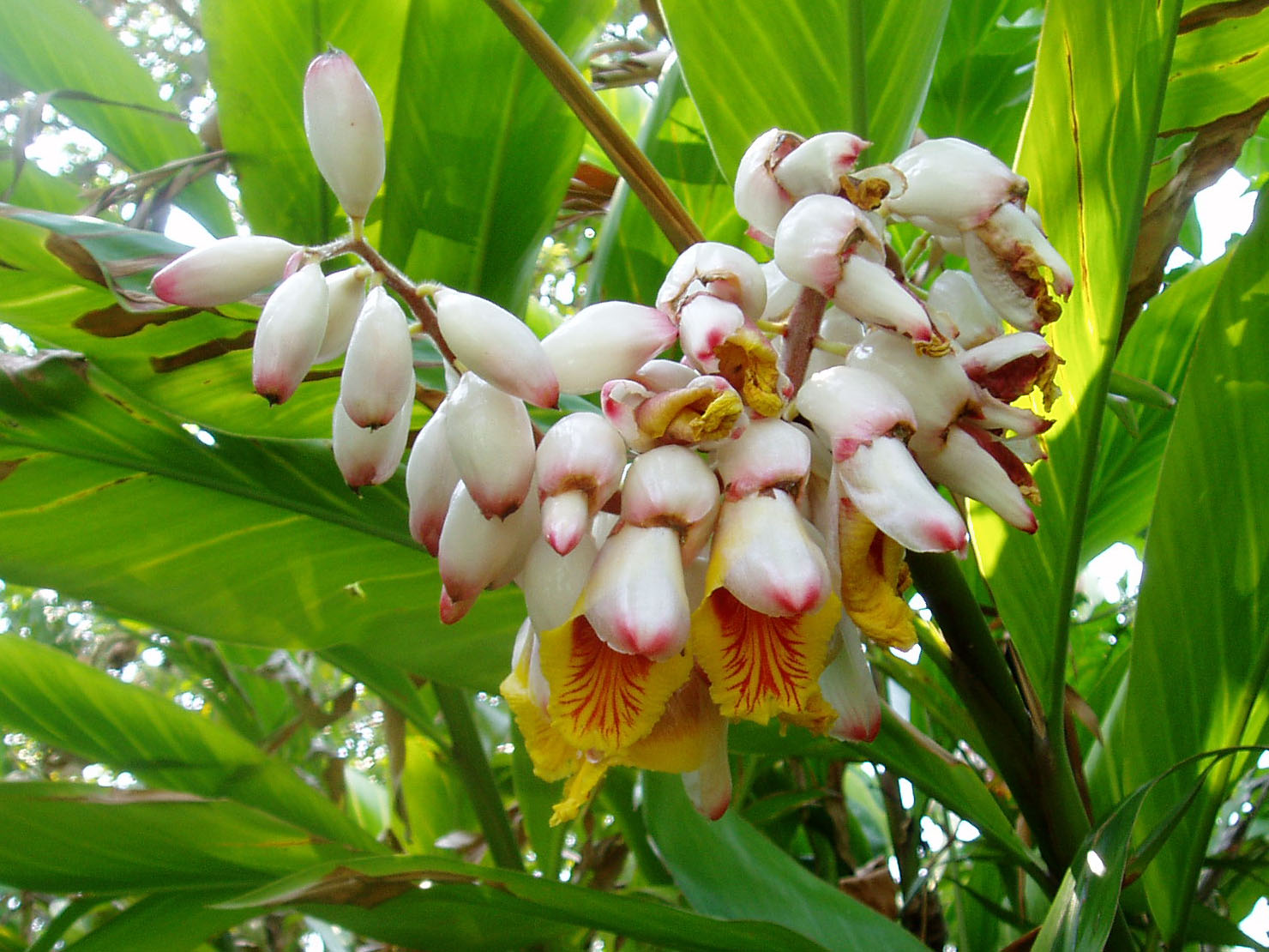 alpinia zerumbet shell ginger anyone growing this plant. Black Bedroom Furniture Sets. Home Design Ideas