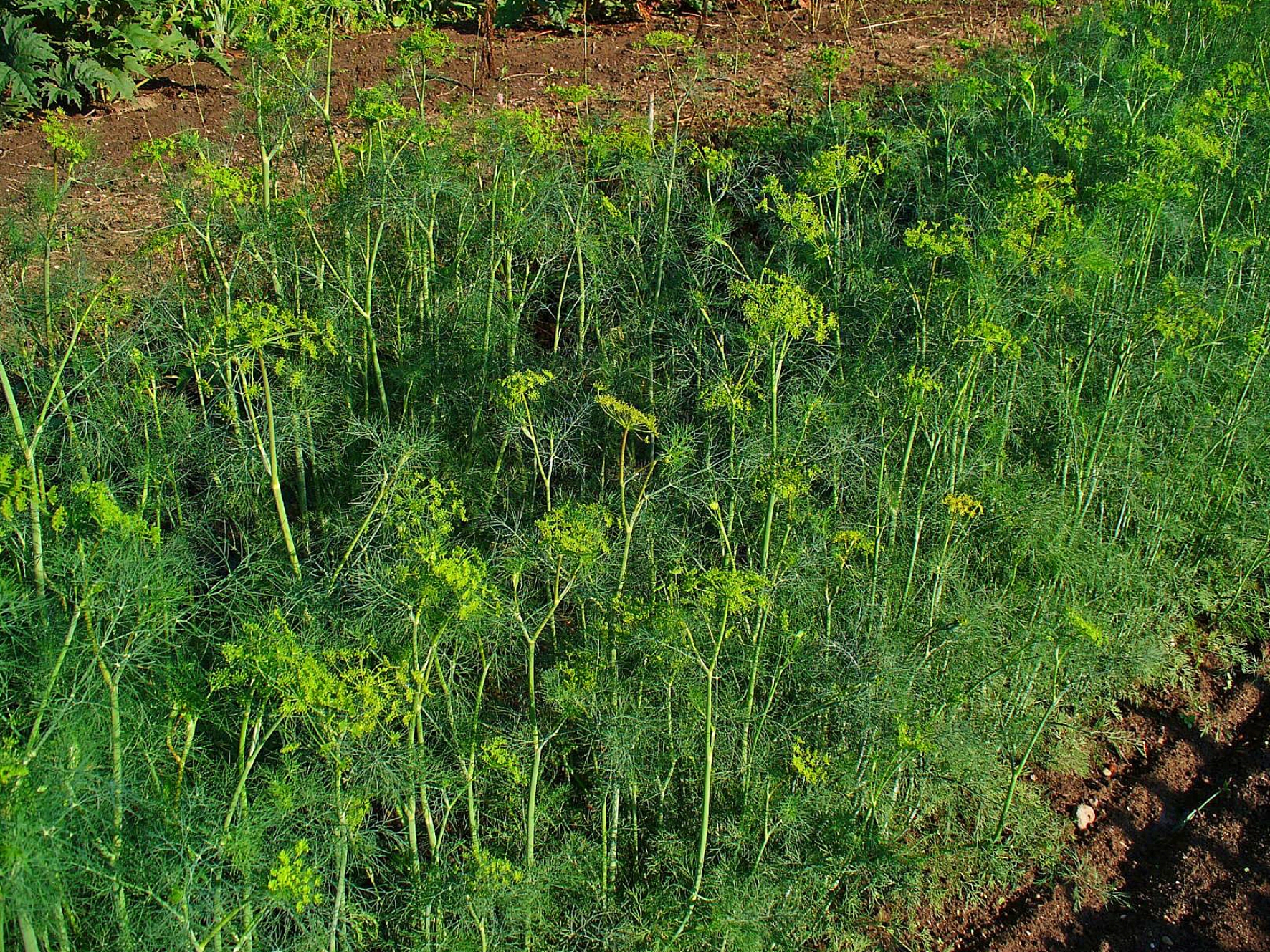 use Dill Plant to repel garden pests