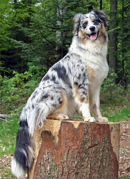 Australian Shepherds Good For Allergies « Australian Shepherd Tips ...