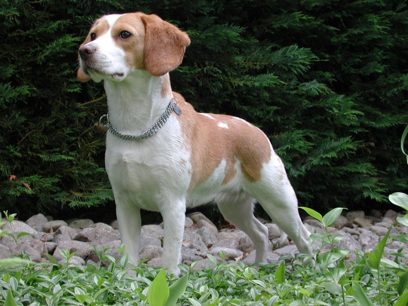 dog breeds  Beagle