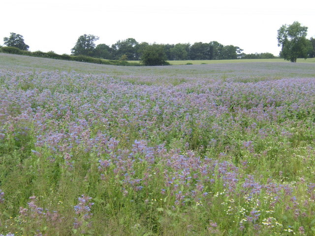 Blue borage crop - geograph.org.uk - 471009