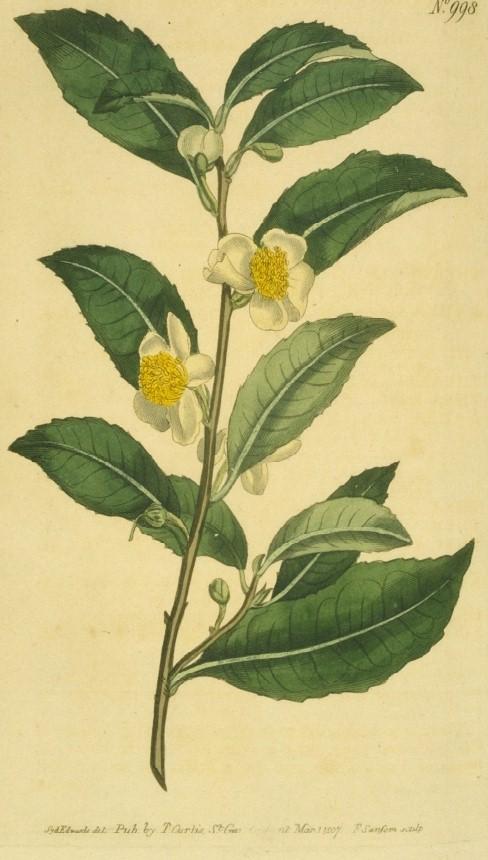 Bohea_Tea_tree.jpg