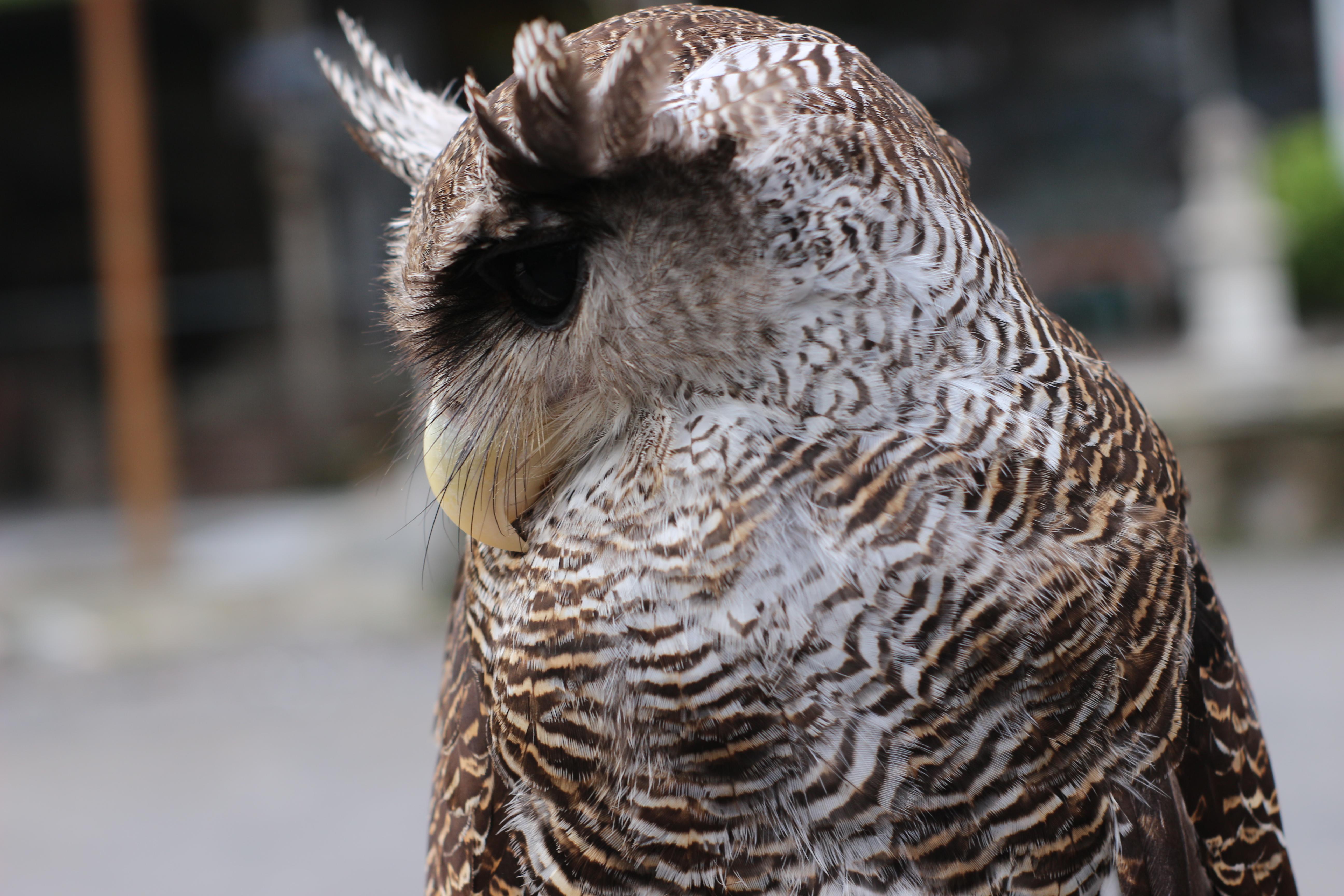 File Burung Hantu Jpg Wikimedia Commons