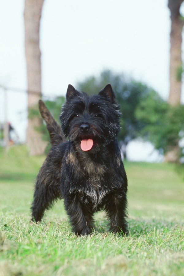 File:Cairn-Terrier jpg - Wikimedia Commons
