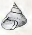 Calliostoma incertum 001.jpg