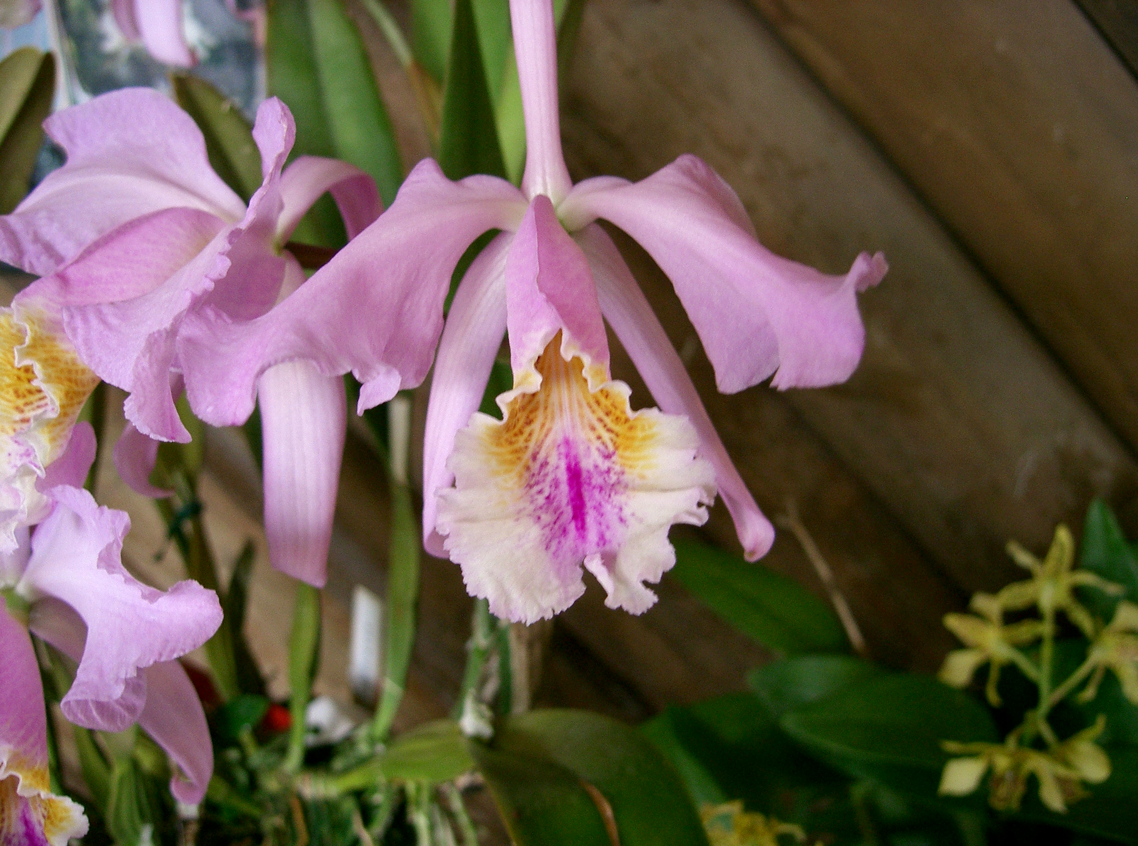 http://upload.wikimedia.org/wikipedia/commons/d/de/Cattleya_mossiae2.jpg