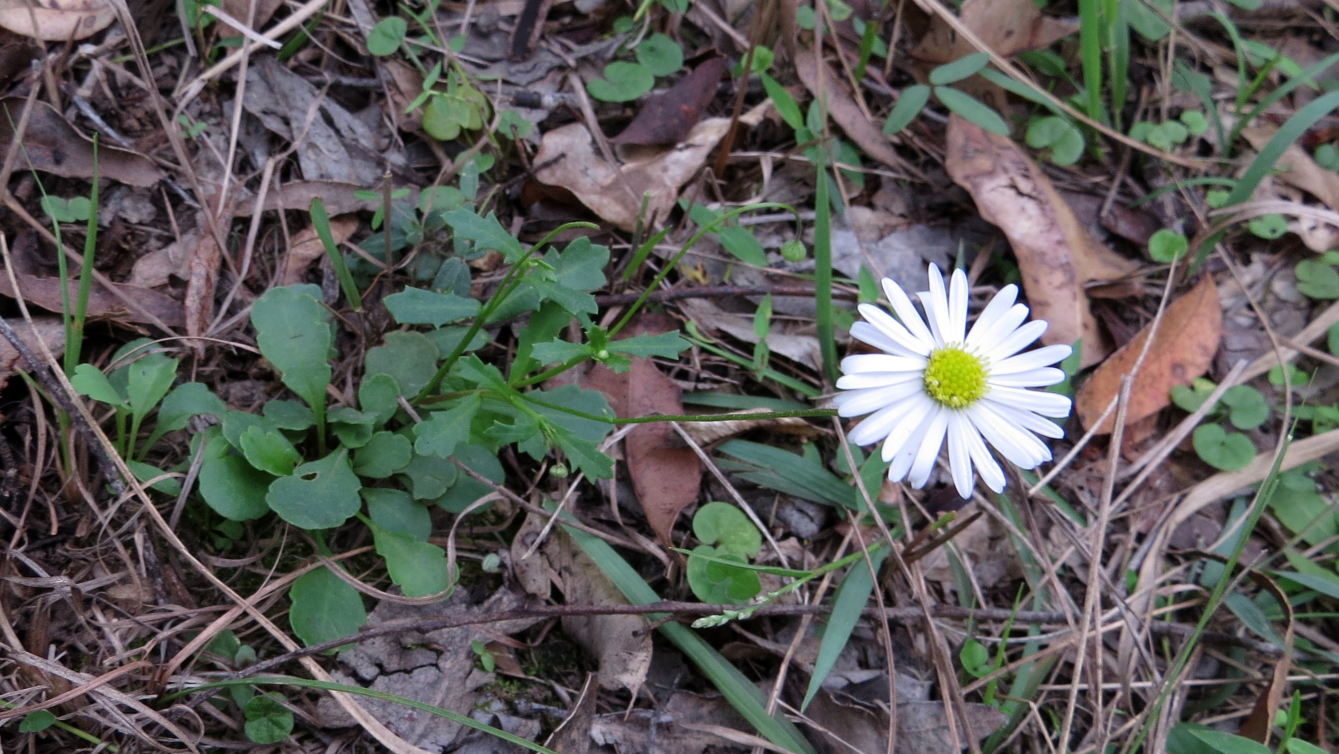 Filedaisy flower and leaves 13798895314g wikimedia commons filedaisy flower and leaves 13798895314g izmirmasajfo