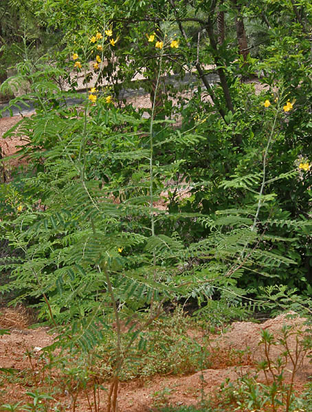 http://upload.wikimedia.org/wikipedia/commons/d/de/Dwarf_Poinciana_%28Caesalpinia_pulcherrima%29-_var_flava_at_Hyderabad%2C_AP_W_233.jpg