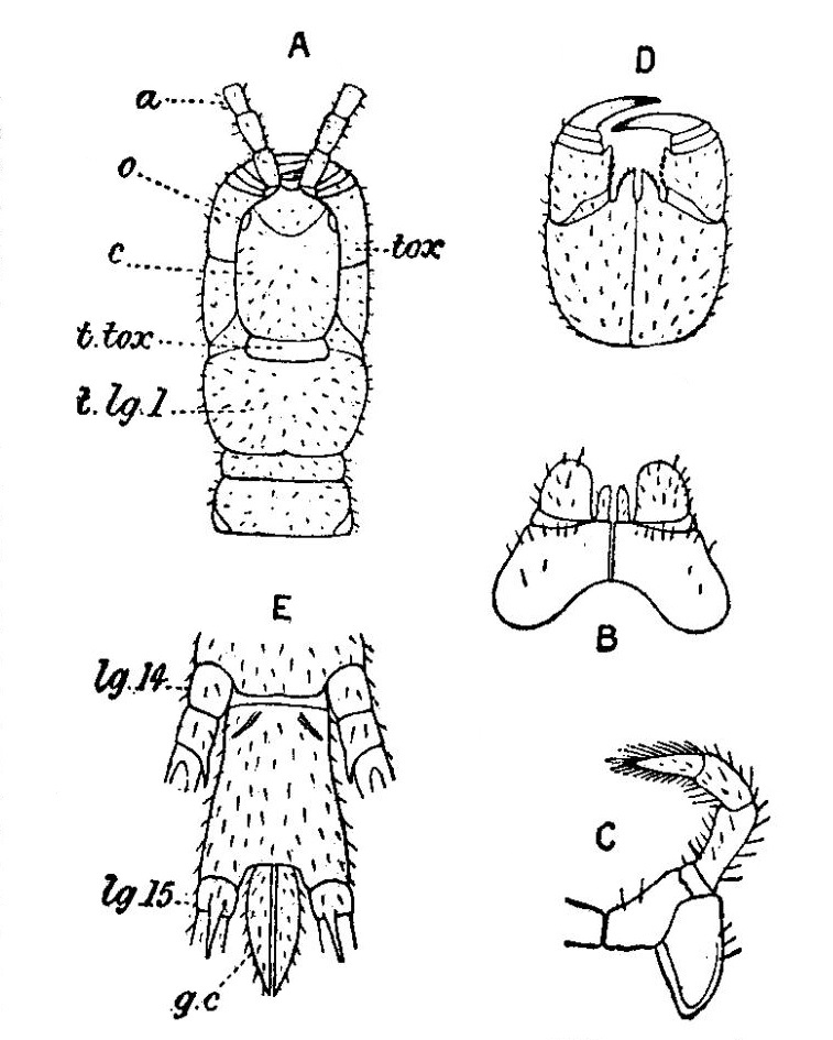 craterostigmomorpha