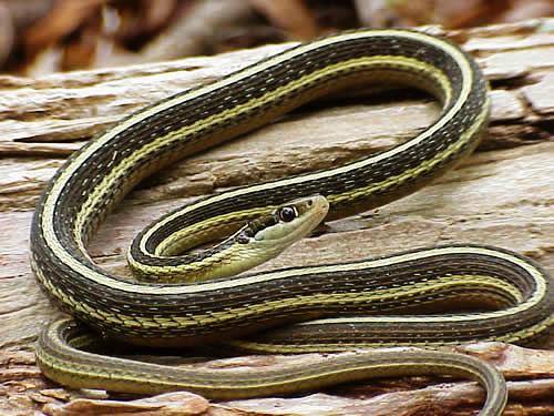 ... Ribbon Snake, ...