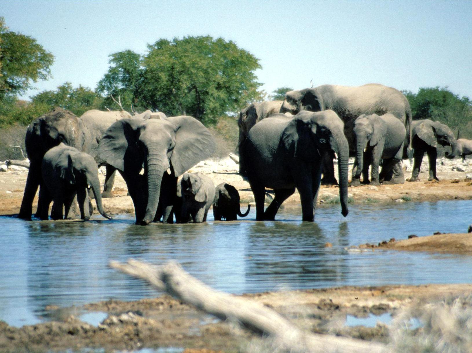 Etosha Namibia  City pictures : Fichier:Elephants Etosha Namibia 1 — Wikipédia