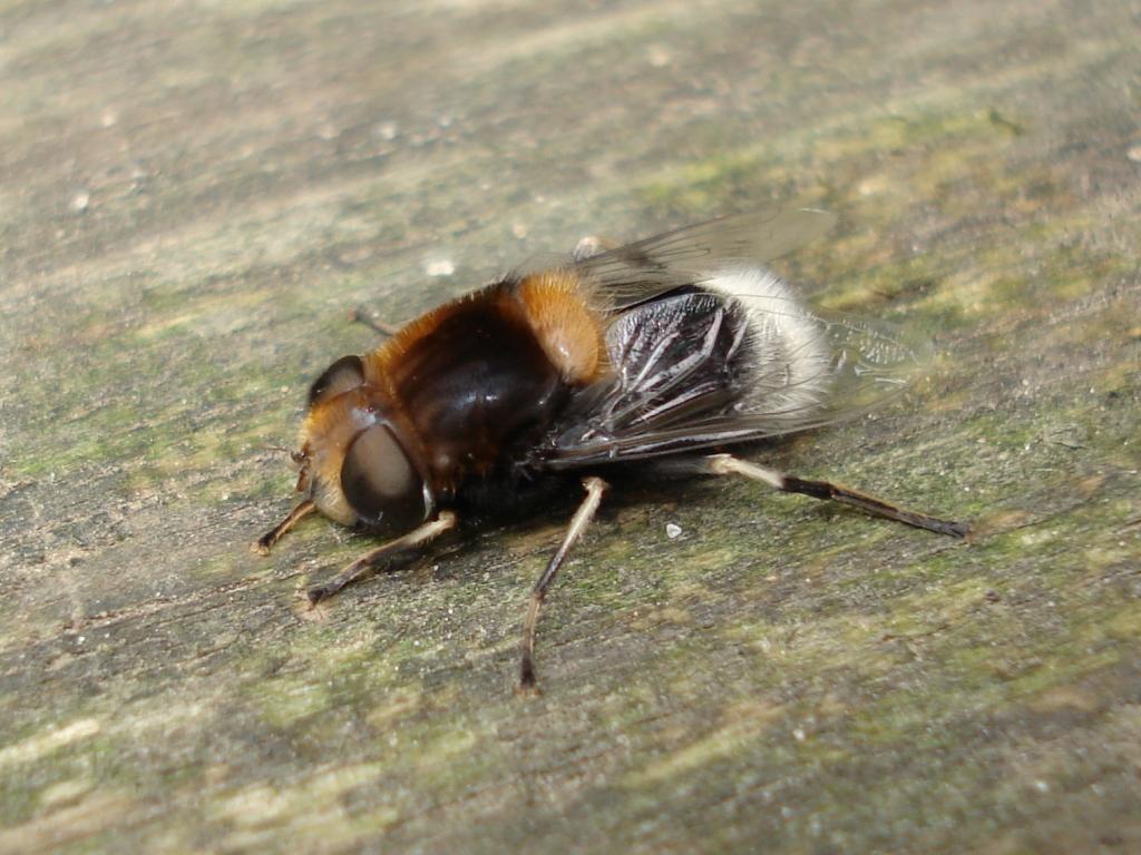 Пчеловидки — Википедия
