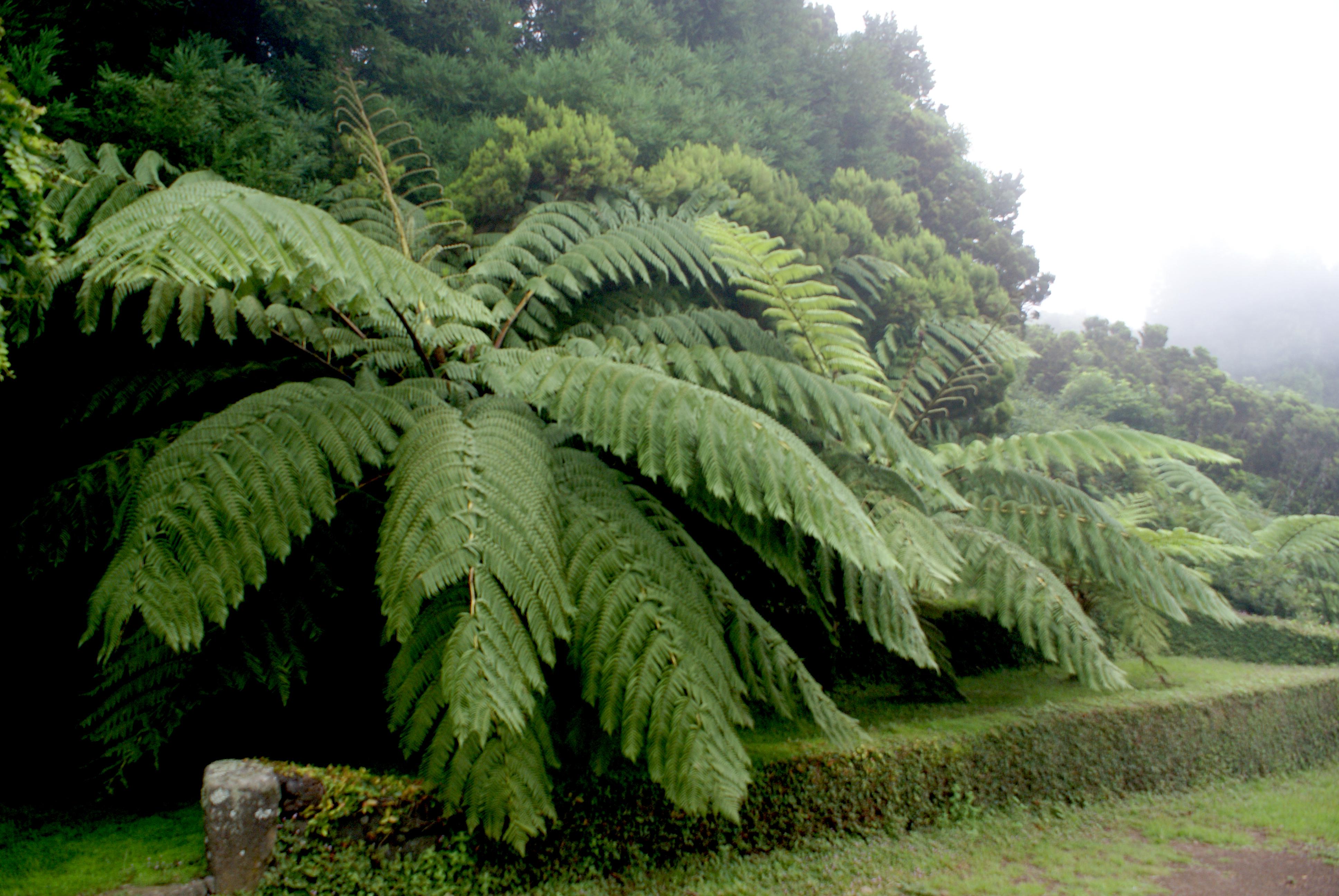 Ficheiro:Fetos arbóreos de grandes dimensões. Parque das Sete Fontes ...