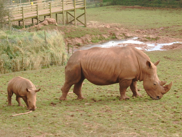 Field with mother and young rhino - geograph.org.uk - 1007185