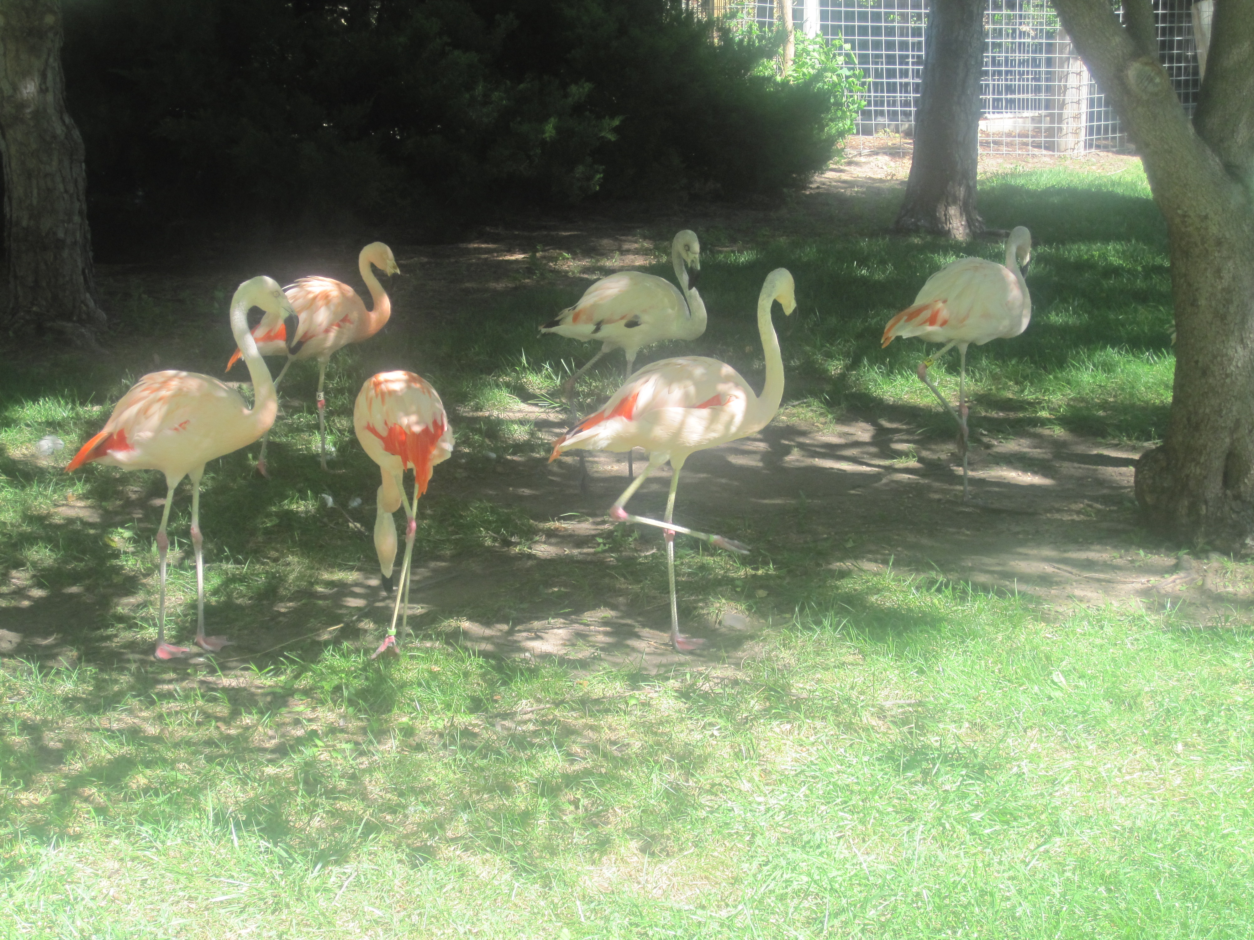 File flamingos at lee richardson zoo garden city ks img Garden city zoo