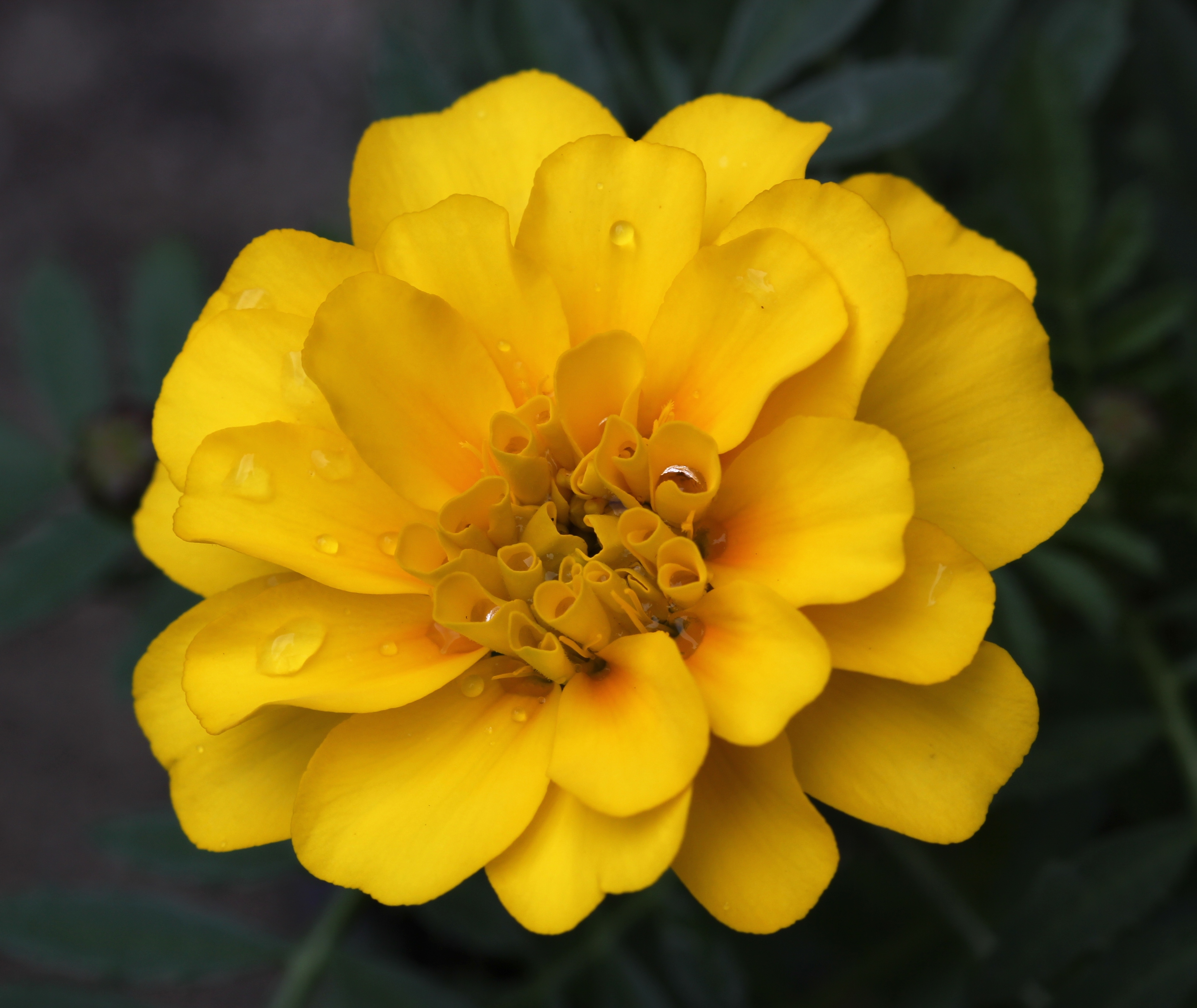 File French marigold with raindrops