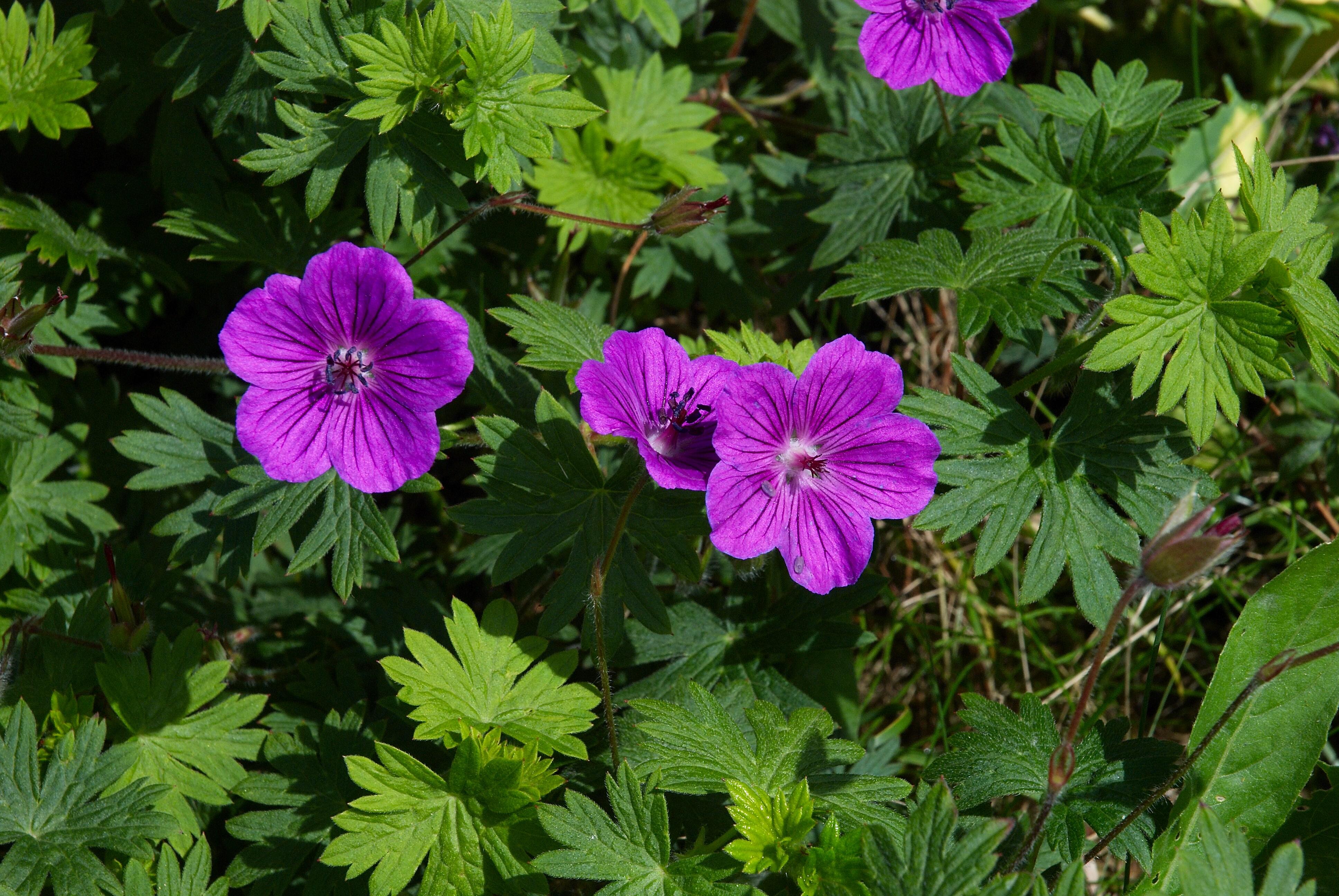 File:Geranium sanguineum Leeds B.jpg - Wikipedia