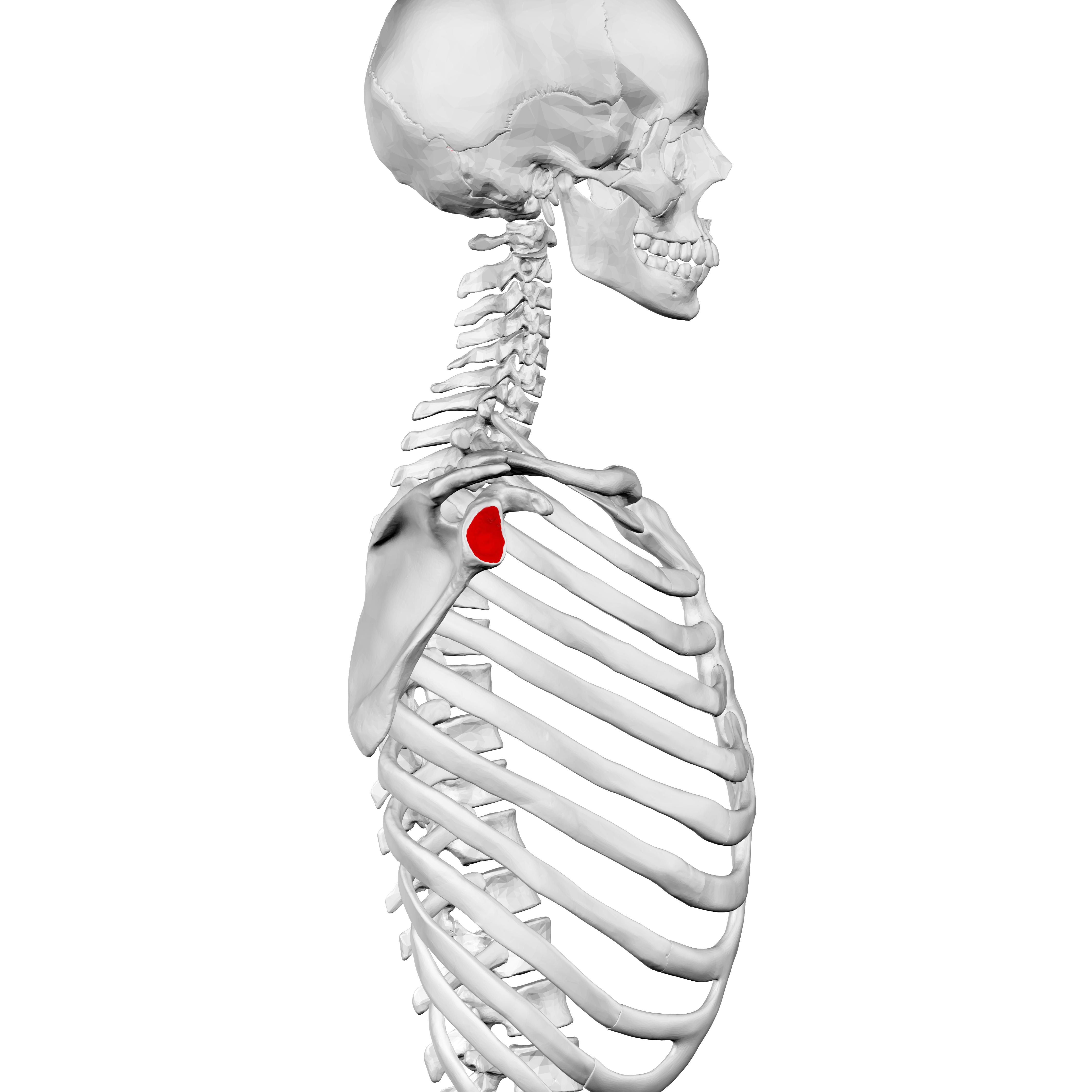 fileglenoid cavity of scapula08png