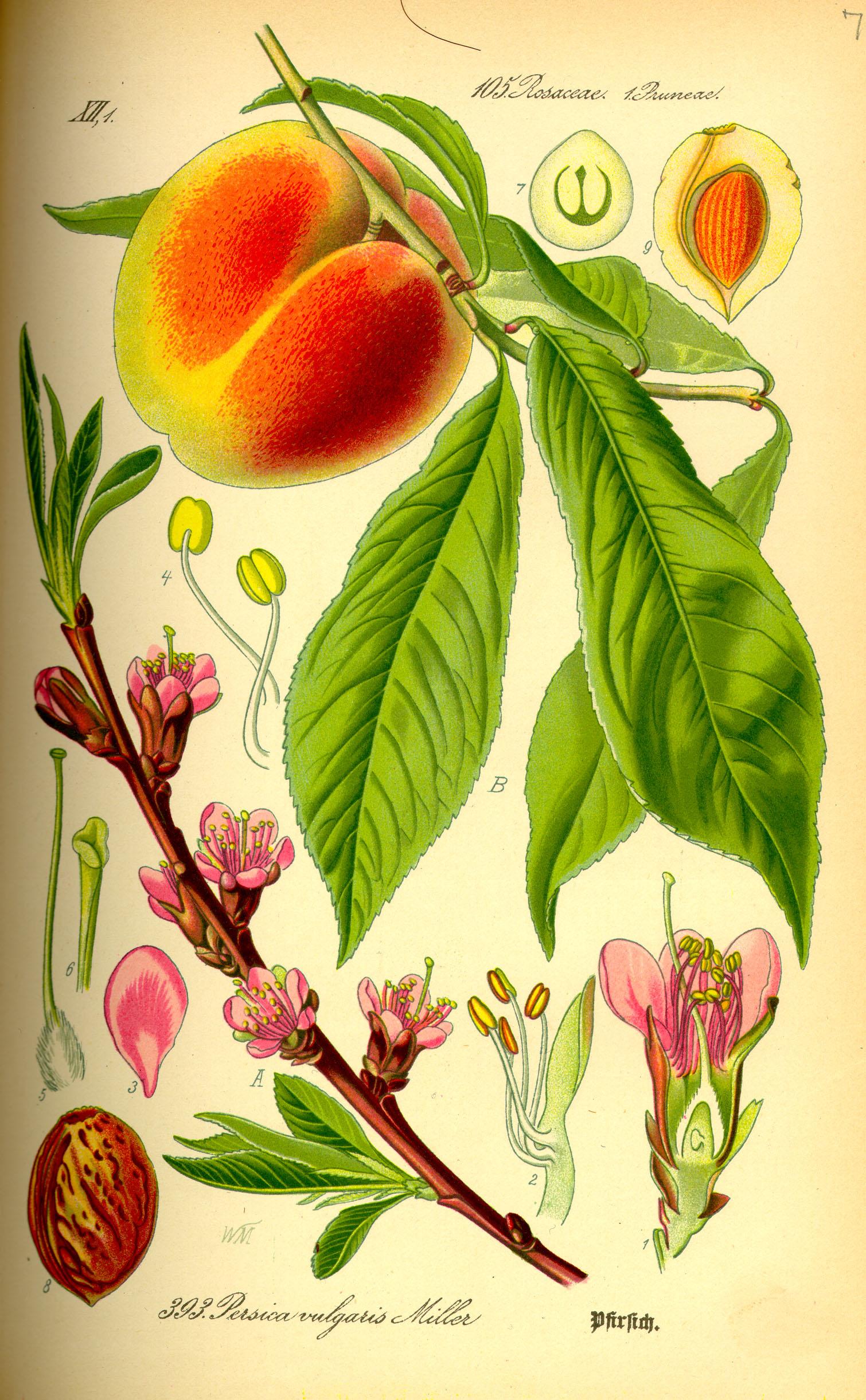 Depiction of Prunus persica