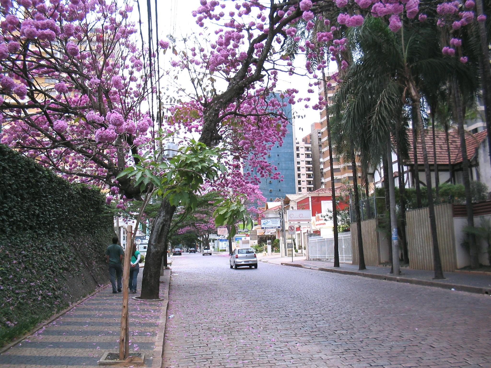 File:Ipês lilás na coronel quirino cambuí 002.jpg - Wikipedia