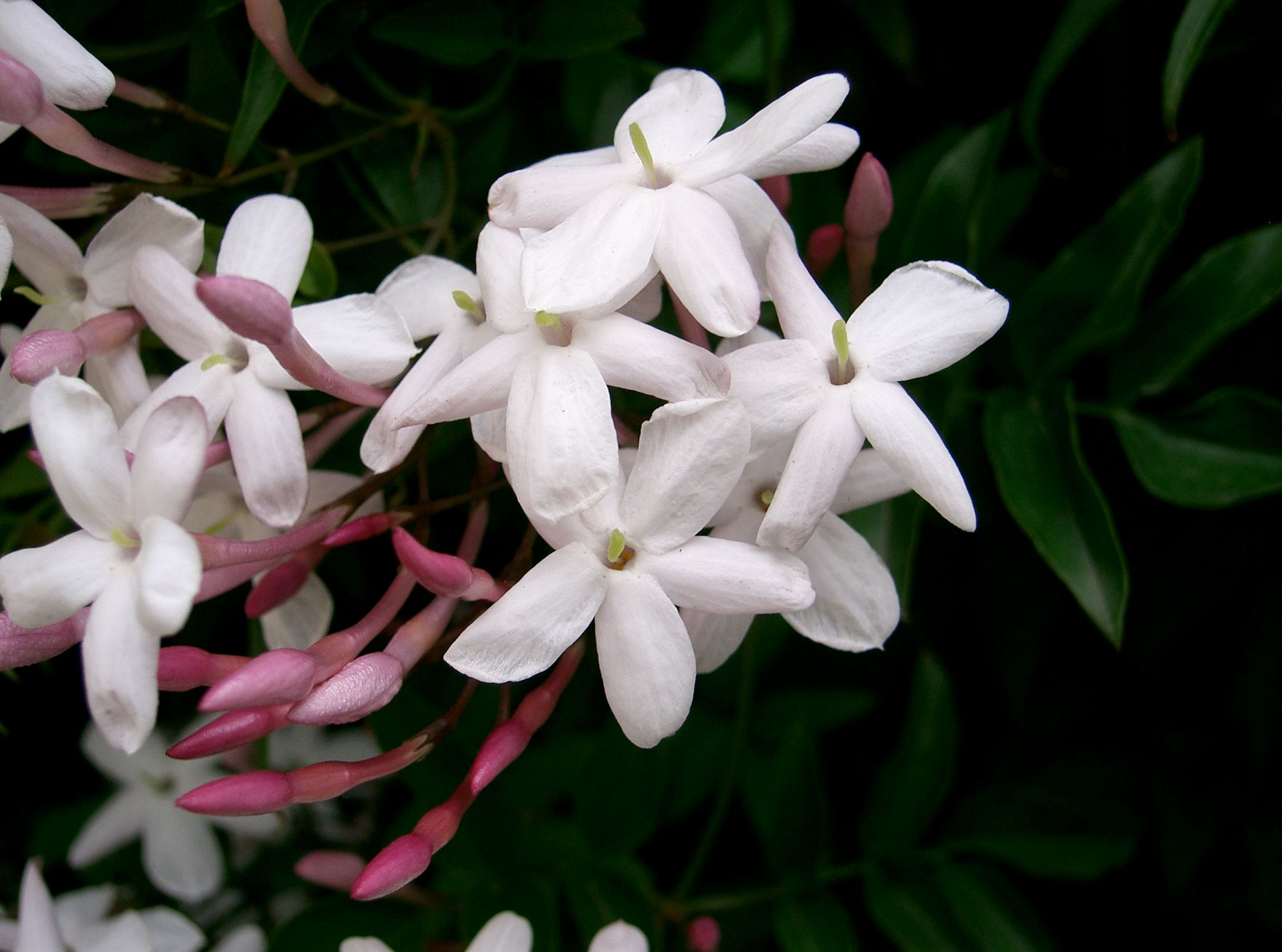 Jasminum Polyanthum Wikipedia