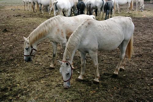 Soubor:Lipicahorses.jpg