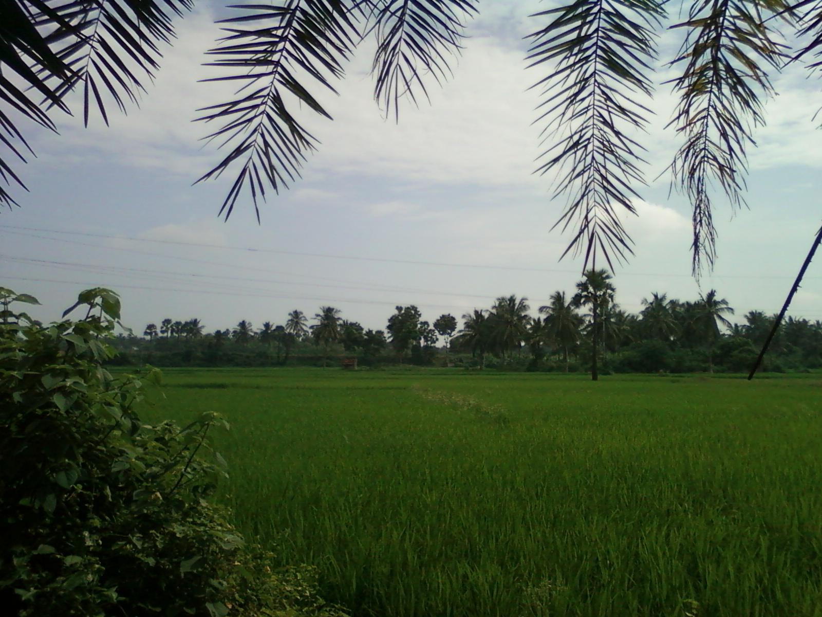 Description Lush green fields of Konaseema Andhra Pradesh India.jpg
