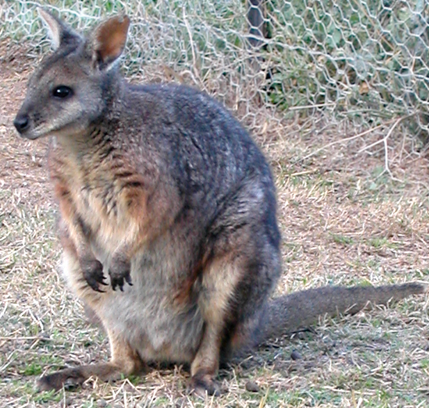 Dama wallaby - from Wikimedia Commons