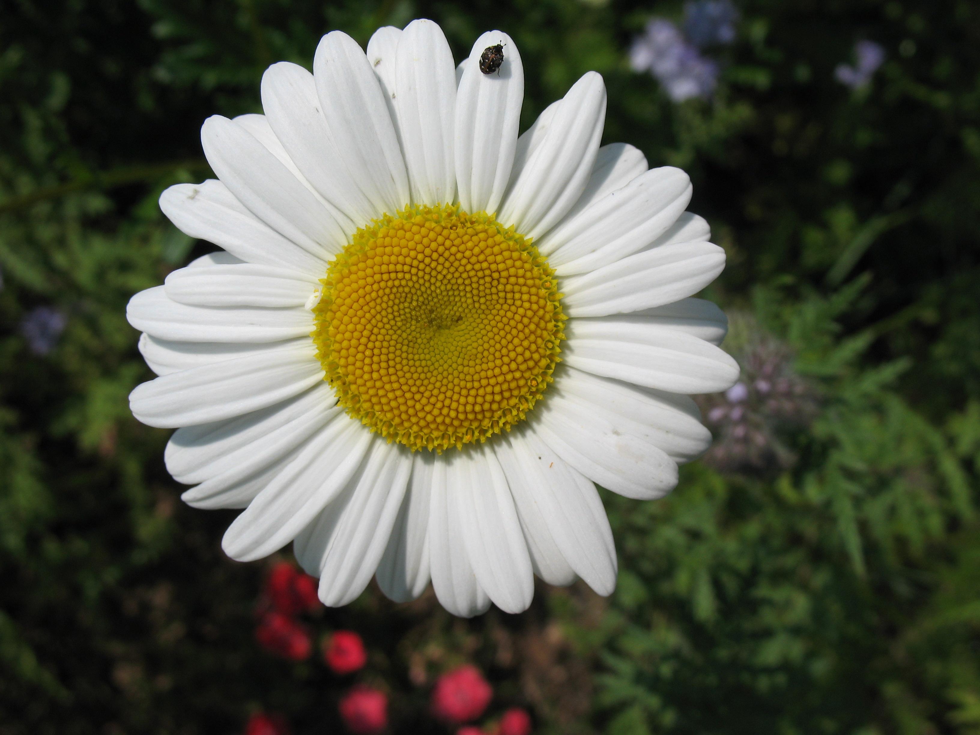 File wikimedia commons - Image fleur marguerite ...