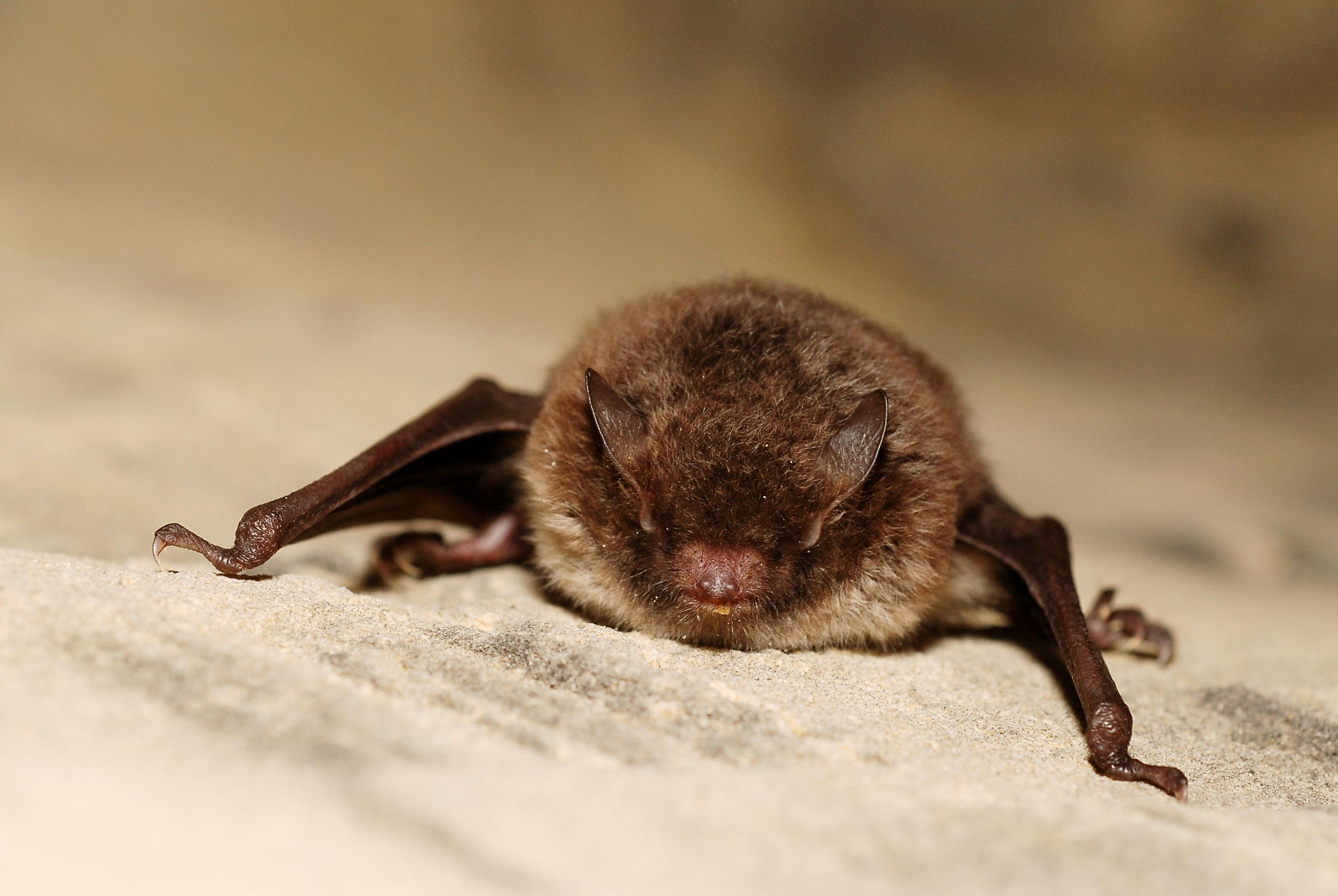 844db15d504 Daubenton s bat. From Wikipedia ...