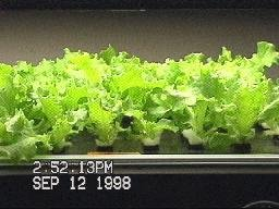 NASA aeroponic lettuce seed germination- Day 12