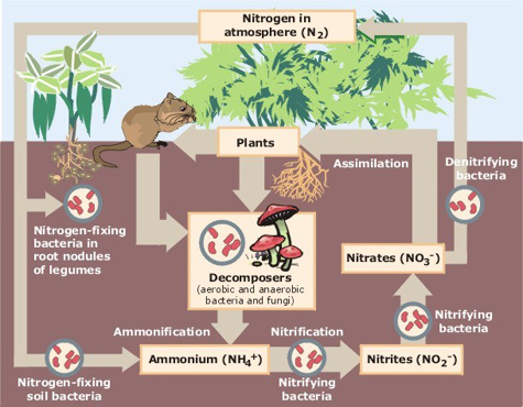 Image: How the nitrogen cycle works in a functional ecosystem. There is no such thing as