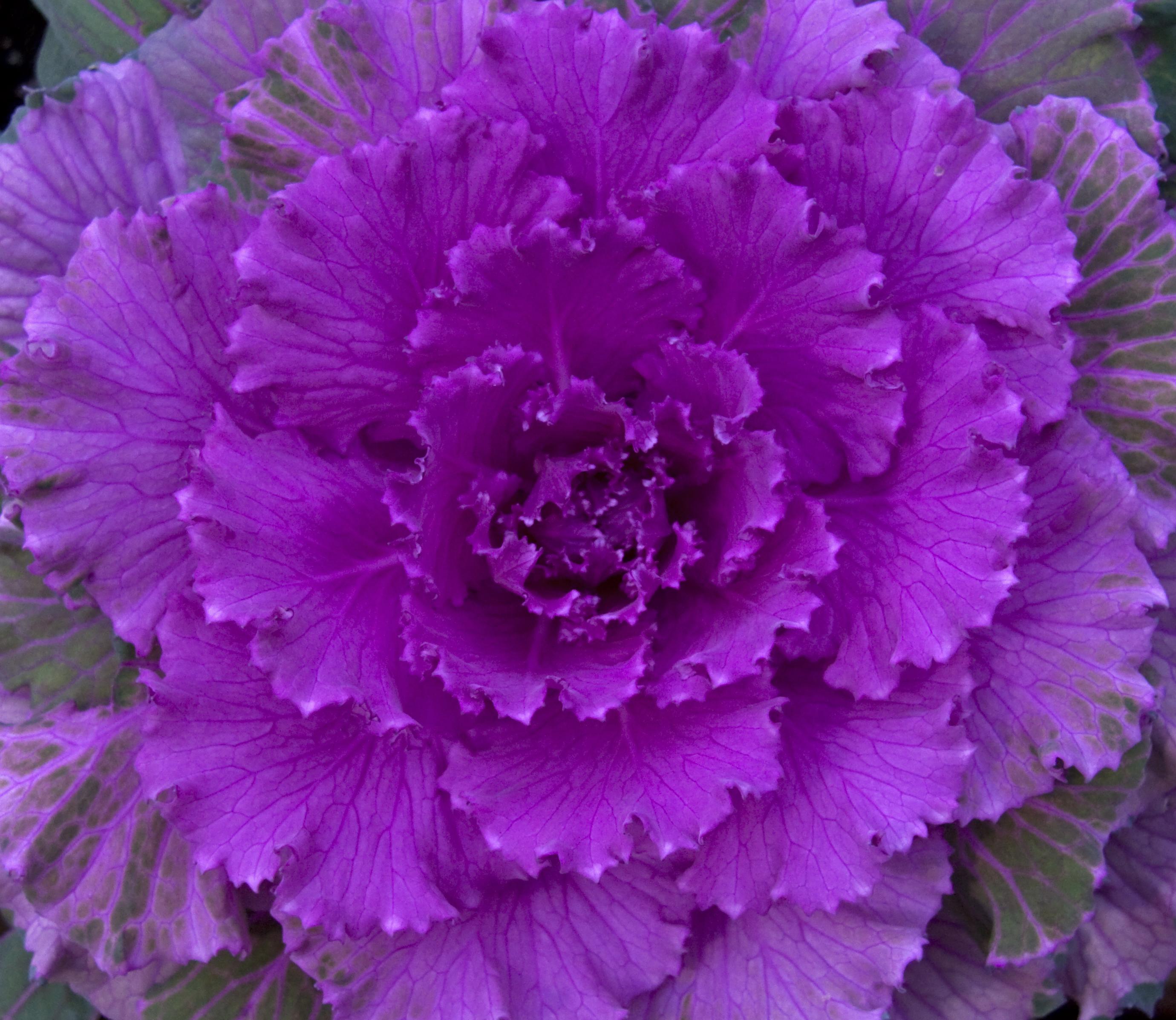 File ornamental cabbage 3 4125240726 jpg wikimedia commons - Plantas de exterior resistentes al calor ...