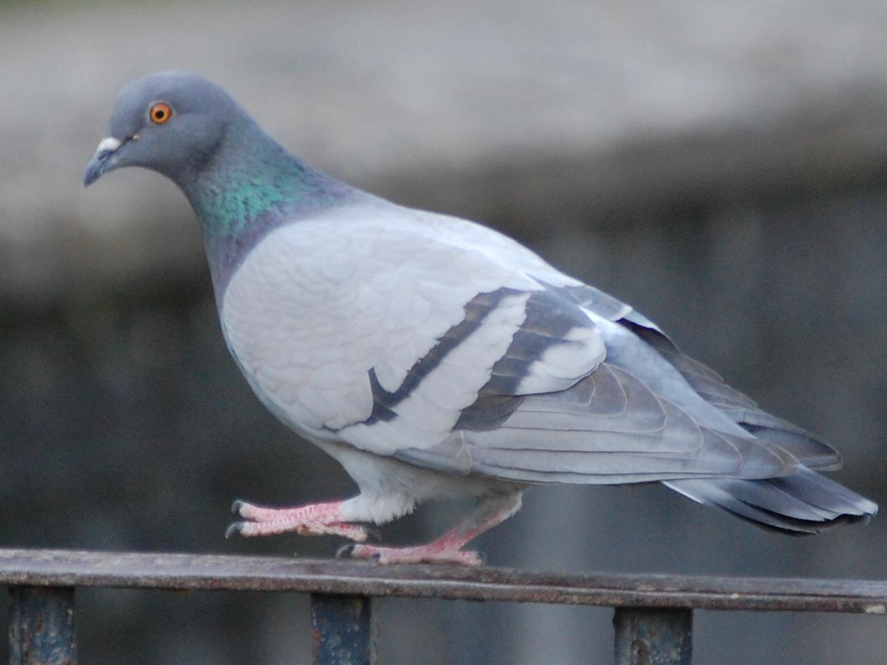 Картинки по запросу голубь