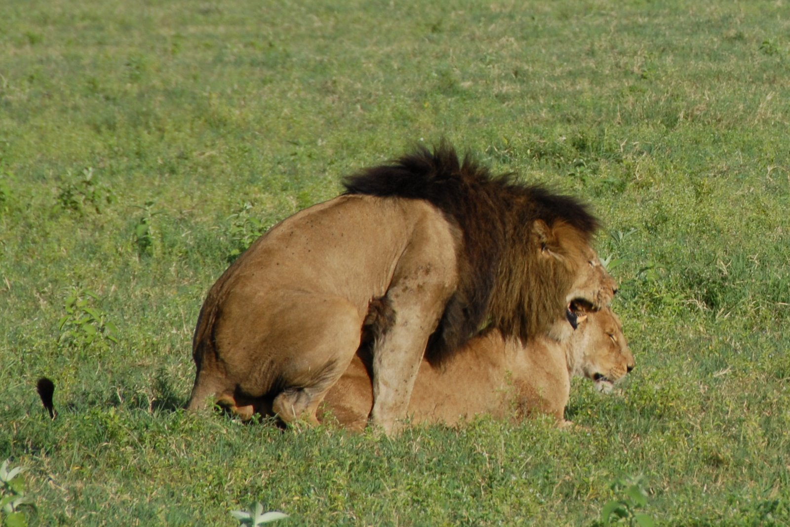 http://upload.wikimedia.org/wikipedia/commons/d/de/Panthera_leo_-Ngorongoro_Conservation_Area%2C_Tanzania_-mating-8.jpg