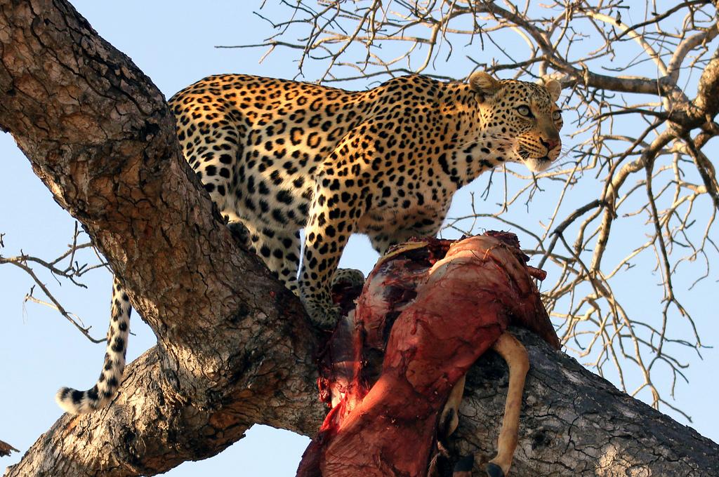 Leopards diet - photo#1