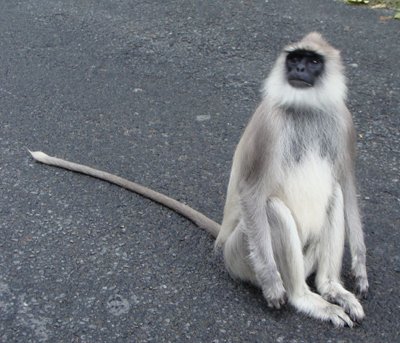 Archivo:PeterMaas-India-MudumalaiNationalPark-Langur1.jpg