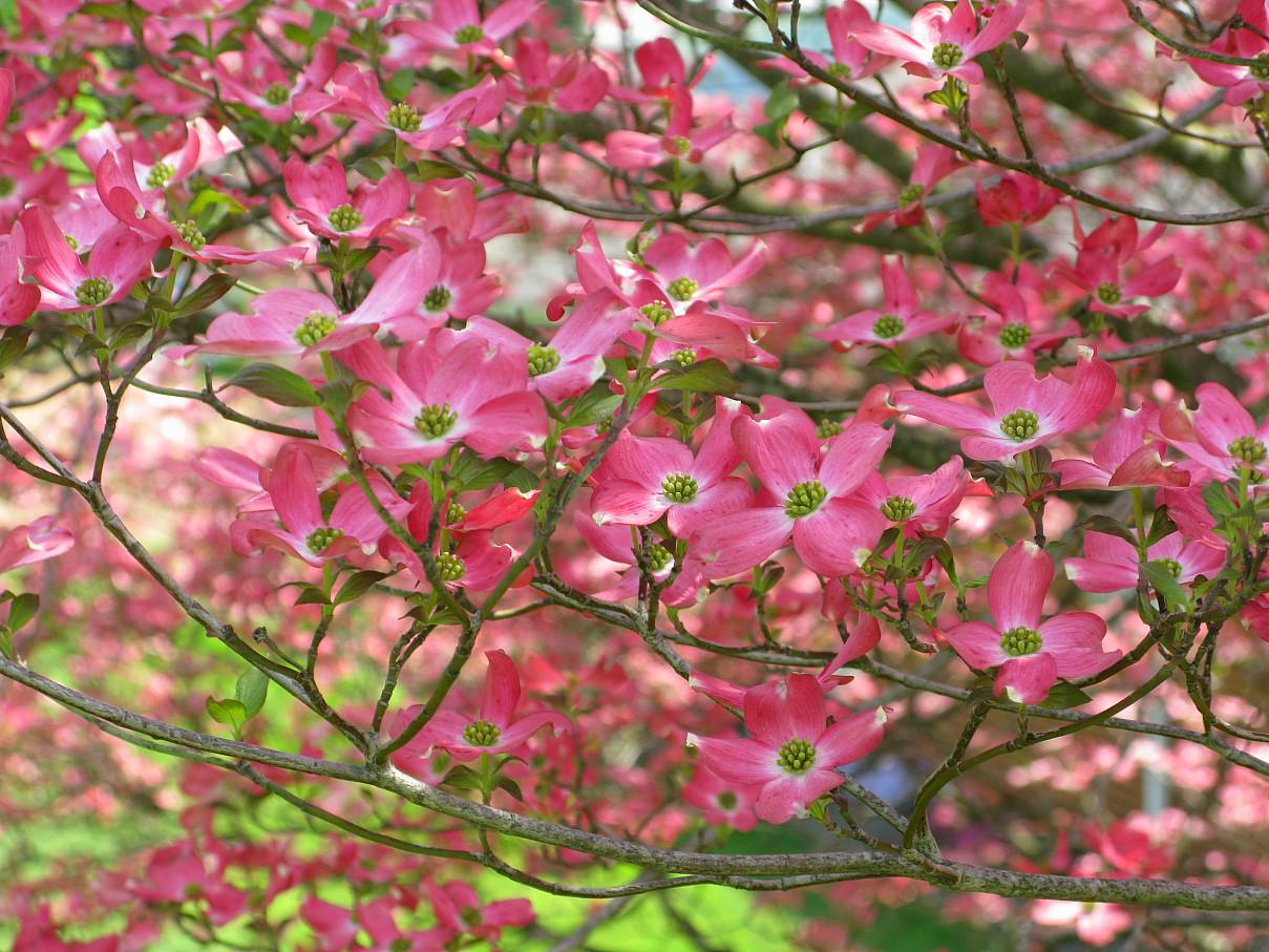 File Pink dogwood flower tree West Virginia ForestWander Wikimedia