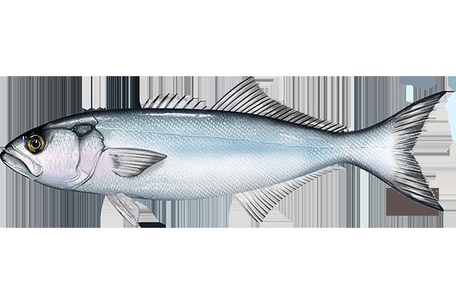 Bluefish - Wikipedia
