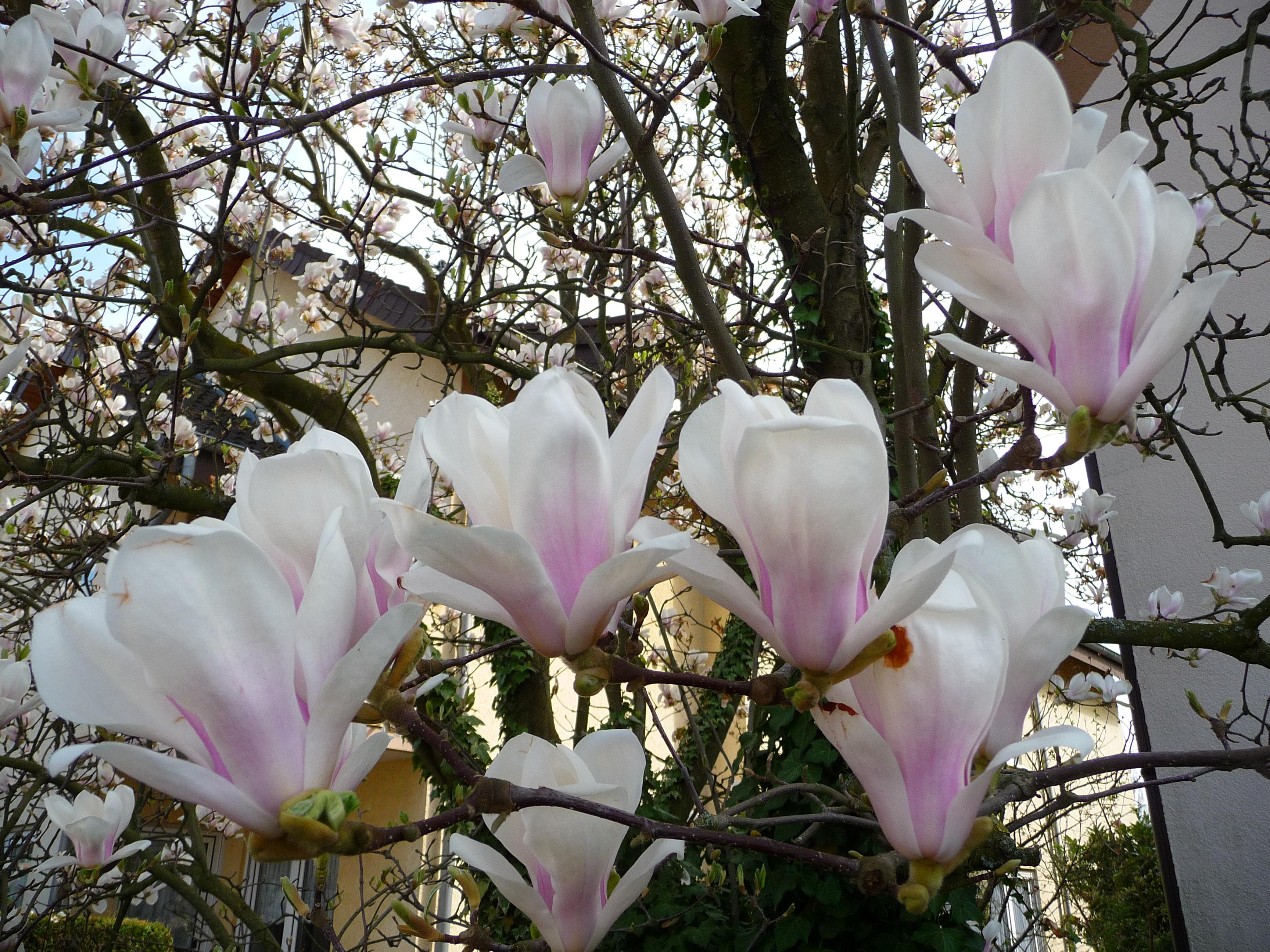 file rosa wei e bl ten magnolie jpg wikimedia commons. Black Bedroom Furniture Sets. Home Design Ideas