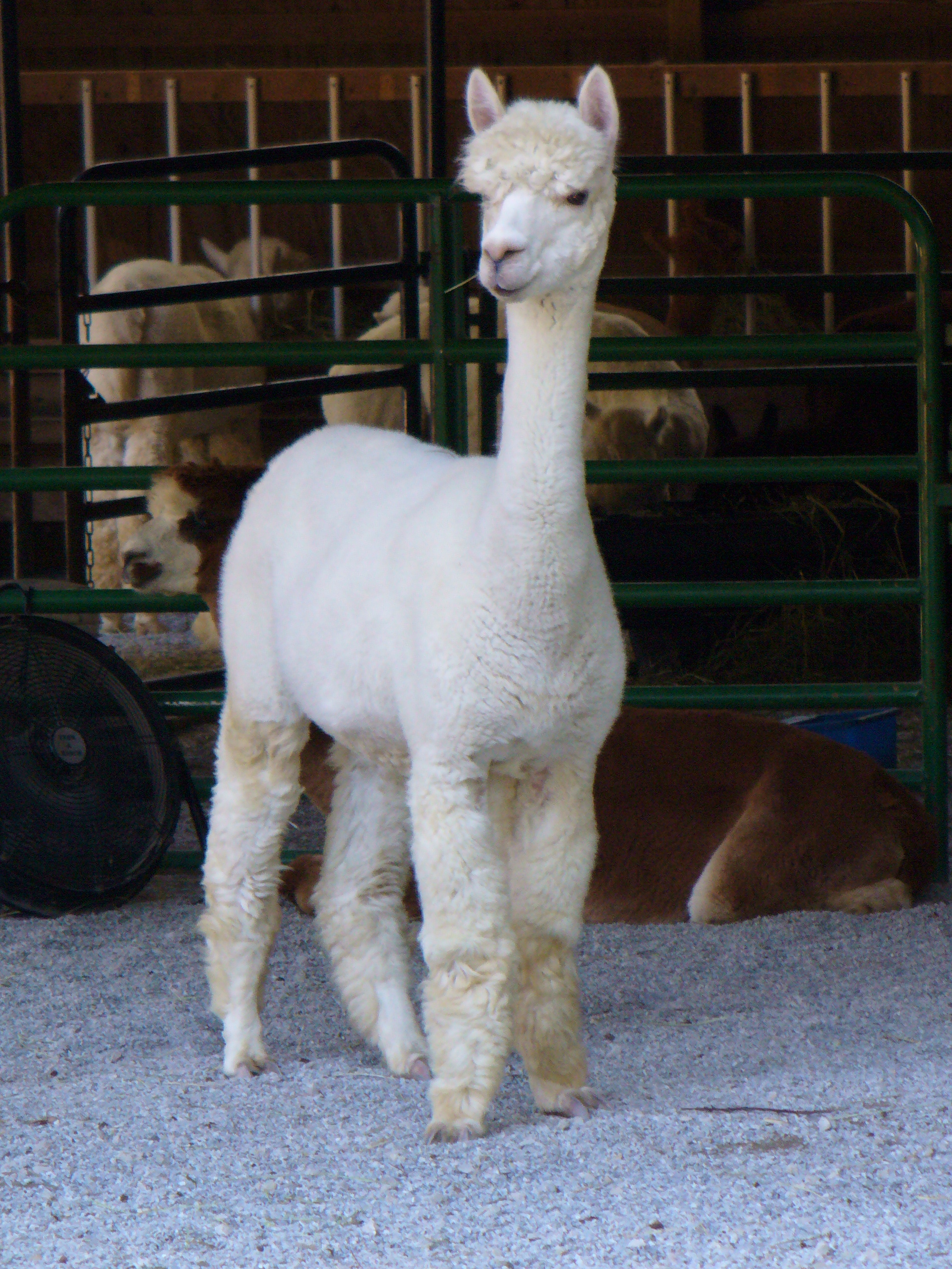 What alpaca ranching in rural Oregon reveals about fraud and finance