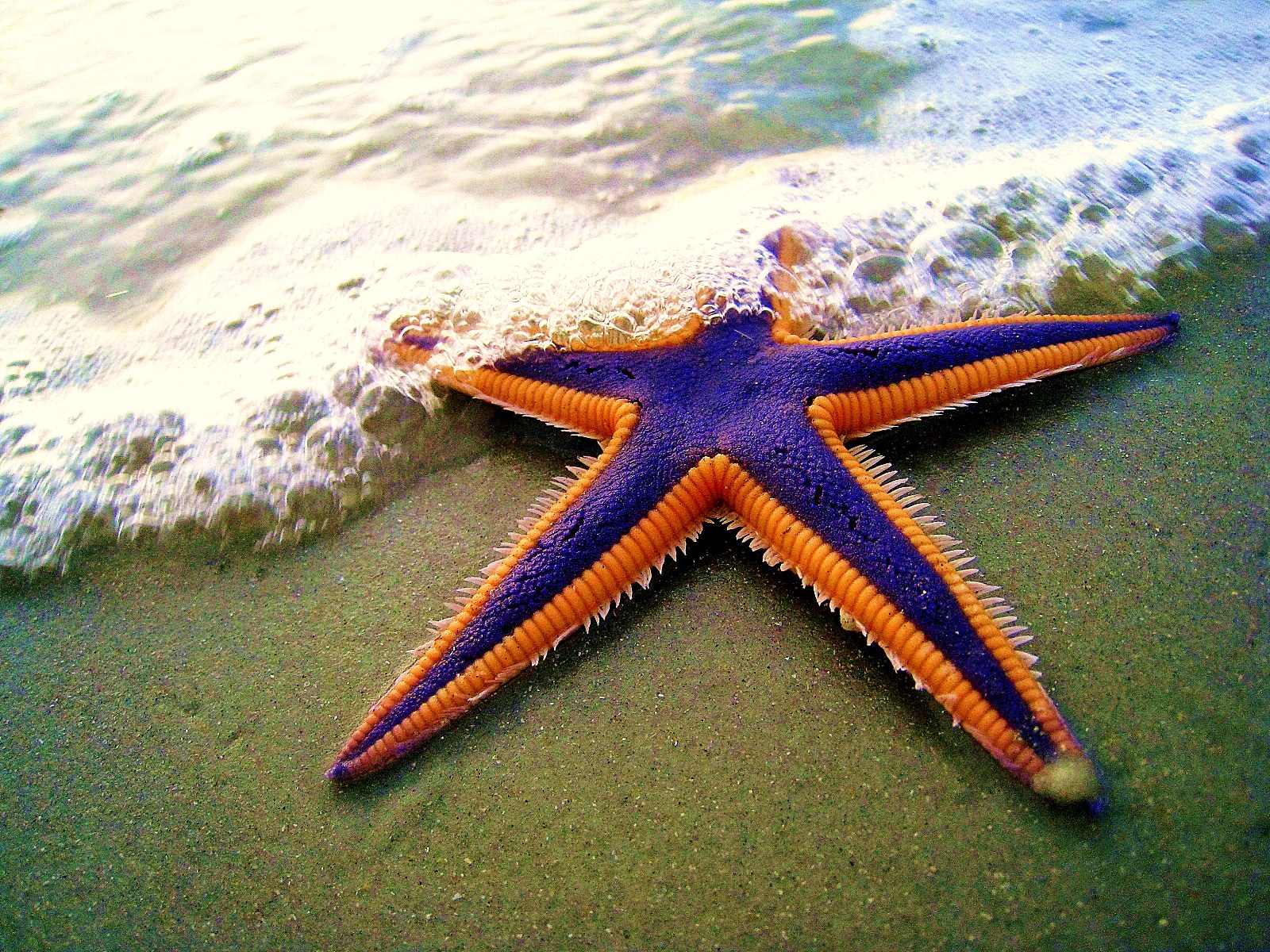 file royal starfish astropecten articulatus on the beach