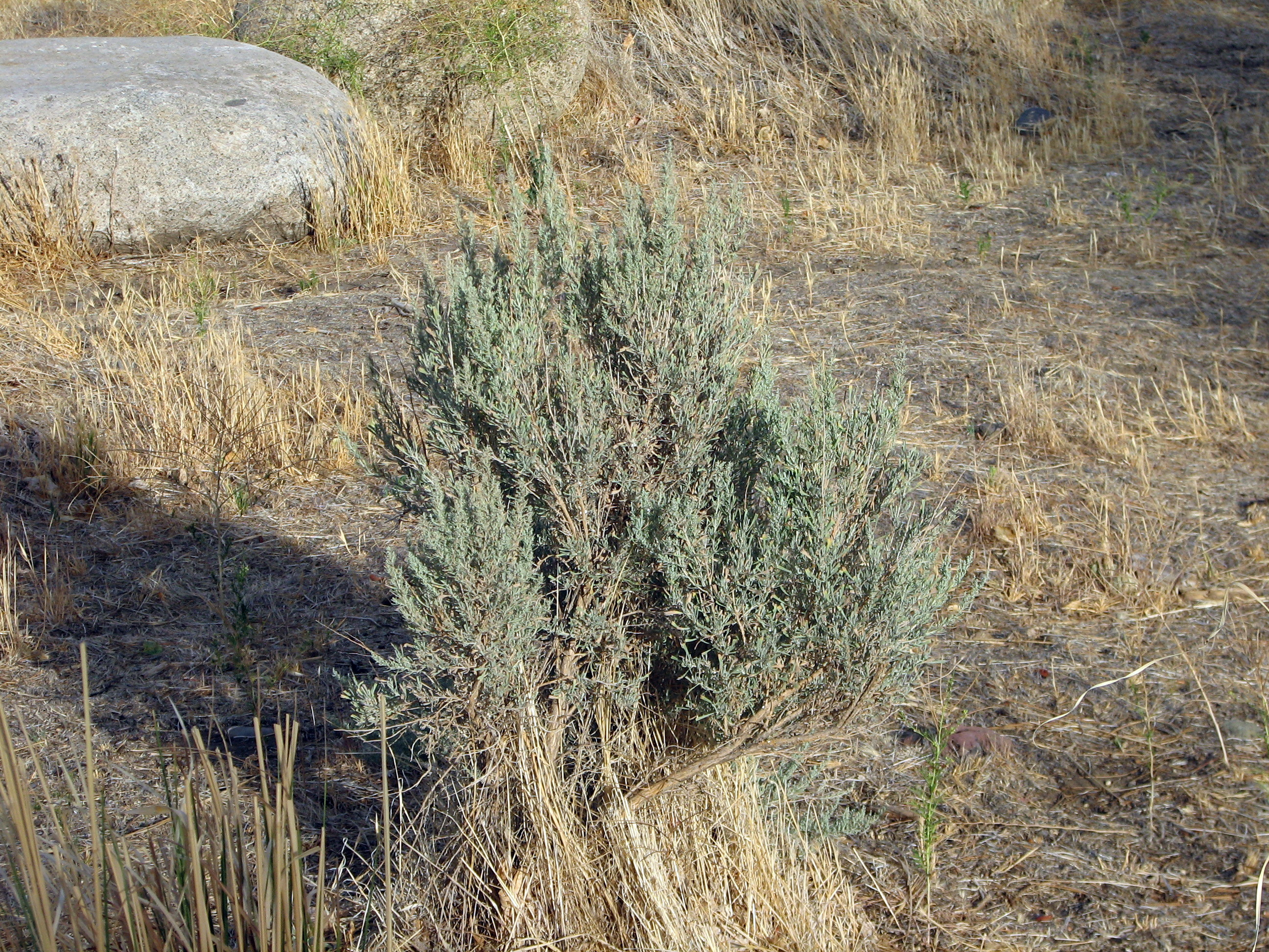 File Sagebrush in bloom 2 Wikimedia mons