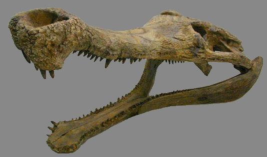Ficheiro:Sarcosuchus skull.JPG